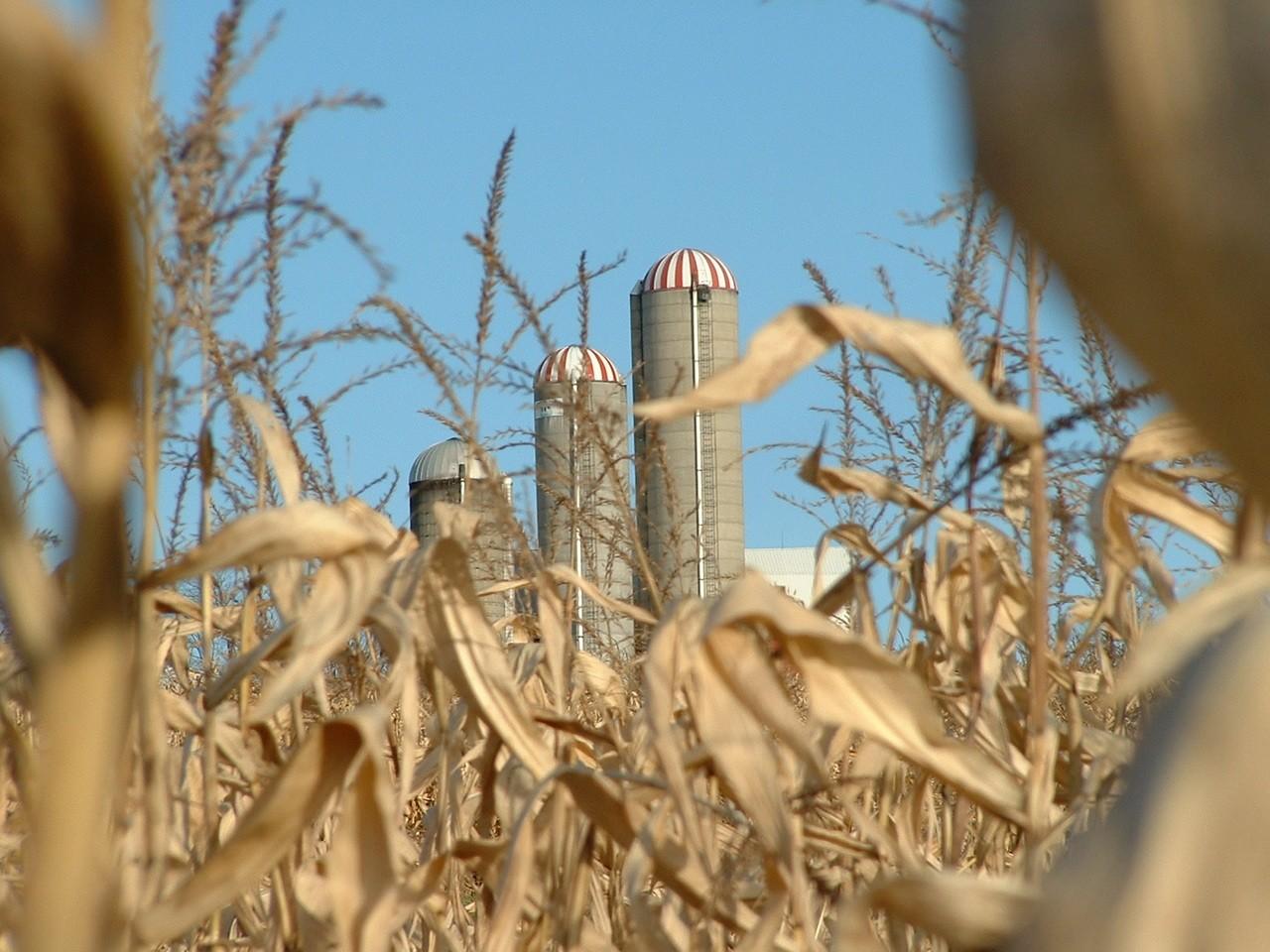 Czym się różni pszenica od jęczmienia?